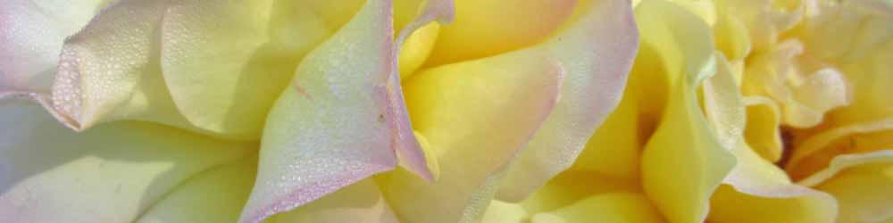 Peace Rose - Strength & Courage Essence