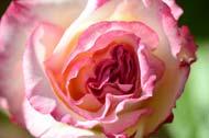 Handel Rose Flower
