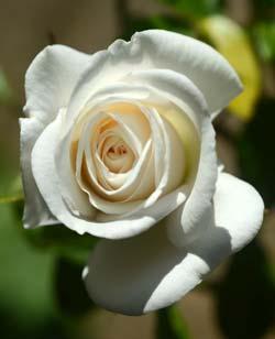 Iceberg Rose Flower