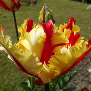 Tulip - Flaming Parrot