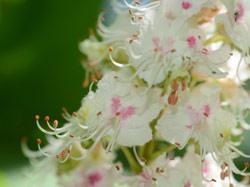 White Chestnut Flowers