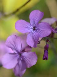 Honesty Flower