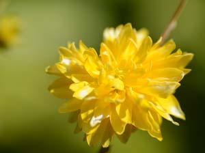 Kerria Flower