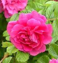 Rosa de la Hay
