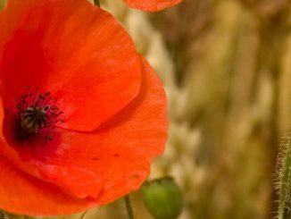 Poppy Wild Red