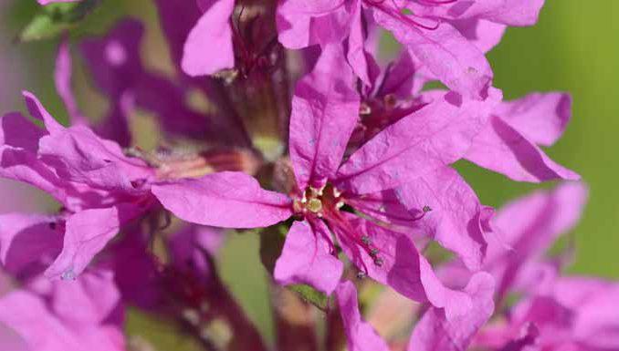 Loosestrife Flower