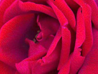 Ruby Red Rose Flower